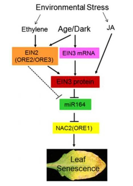 Plant Cell: ETHYLENE-INSENSITIVE3 Accelerates Age-Dependent Leaf Senescence by Directly Repressing miR164 Transcription | Plant Biology Teaching Resources (Higher Education) | Scoop.it