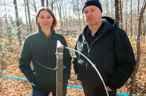 Maple Syrup Revolution: A New Discovery Could Change the Business Forever - Modern Farmer | Erba Volant - Applied Plant Science | Scoop.it