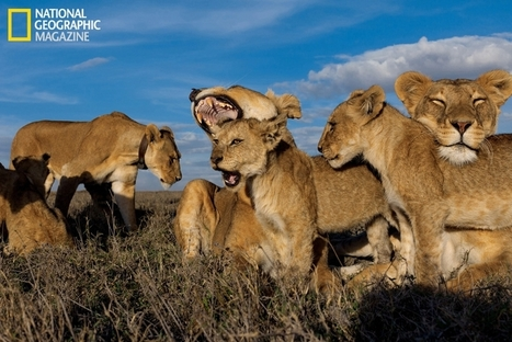 African savannah loses two-thirds of its lions in 50 years | Biodiversity IS Life  – #Conservation #Ecosystems #Wildlife #Rivers #Forests #Environment | Scoop.it