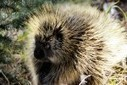 MIT Scientists Develop Stronger Adhesives and Less Painful Needles Based on Porcupine Quills | Biomimicry | Scoop.it