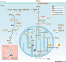 Altered metabolite levels in cancer: implications for tumour biology and cancer therapy   Melanoma BRAF Inhibitors Review   Scoop.it