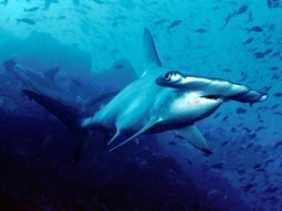 New hammerhead shark species discovered | EarthSky.org | Marine Science and Conservation | Scoop.it