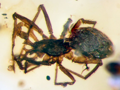 New Spider With Horned Fangs Found in Dinosaur-Era Amber | Biodiversity protection | Scoop.it