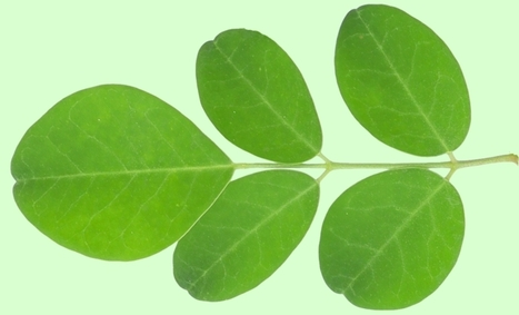 Moringa Association calls for protection of industry from foreign products   Moringa - the Miracle Tree   Scoop.it
