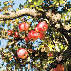 Communities Grow Stronger with Fruit Tree Projects - Community - Utne Reader | GMOs & FOOD, WATER & SOIL MATTERS | Scoop.it