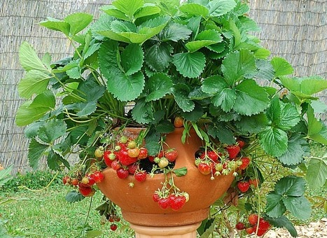 "Planter un fraisier en balcon ou terrasse | Macadam"" Seeds 