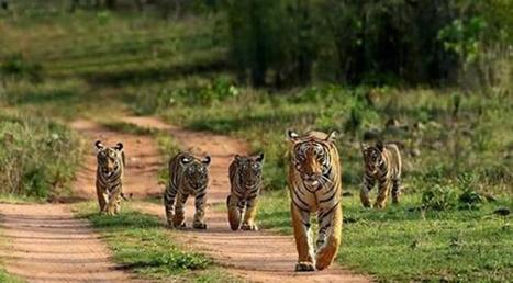 Bandhavgarh Cheers Up After Spotting of 46 Tiger Cubs | India Travel & Tourism | Scoop.it