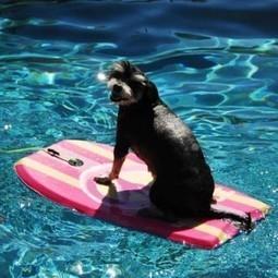 Chien dans la piscine, se mettre à l'abri des dangers | Piscine, natation | Scoop.it