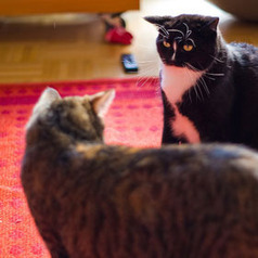 Reader Question: Introducing a Trouble-Making Cat into a Stable Cat Household | Feline Health and News - manhattancats.com | Scoop.it
