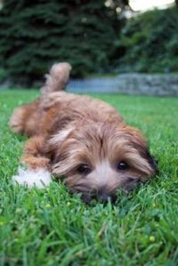 Fastest Way to Potty Train a Puppy | The Daily Puppy | Indoor Dog Potty Training | Scoop.it