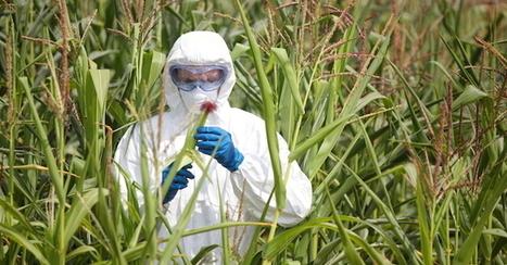 OGM, Greenpeace: approvata modifica a legge UE, Italia rinnovi bando | Il mondo che vorrei | Scoop.it