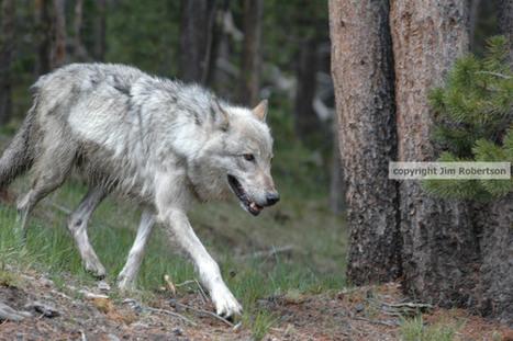 Grand Teton National Park wolf death shrouded in secrecy | GarryRogers NatCon News | Scoop.it