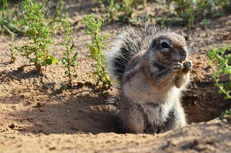 Ground squirrels use the sun to hide food | Gaia Diary | Scoop.it