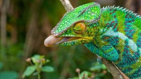 Chameleon's Tongue Gives Up Secrets | Biomimicry | Scoop.it