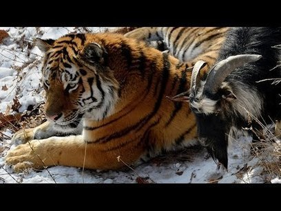Russian tiger befriends brave goat instead of eating it | Culture, Humour, the Brave, the Foolhardy and the Damned | Scoop.it