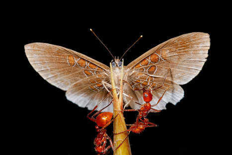 Butterfly Thieves Steal From 'Badass' Ants—A First | Rainforest EXPLORER:  News & Notes | Scoop.it