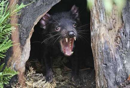 Saving devils, in a single disease-free corner of Tasmania | Sustain Our Earth | Scoop.it