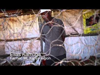 Tuta absoluta is spreading in Africa   Pests on videos   Scoop.it