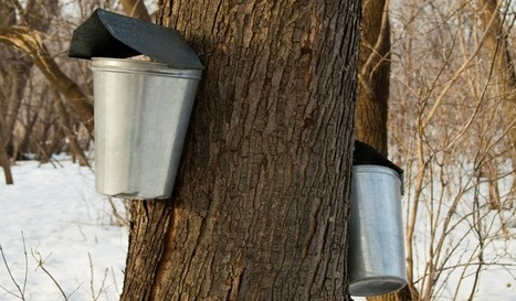 Maple Syrup Festivals And Events In Oakville And The Greater Toronto Area | Deals Oakville | Scoop.it