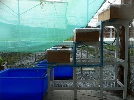 Growing Strawberry with Fish Poop in Aquaponics System | Ban Rai ... | Wellington Aquaponics | Scoop.it