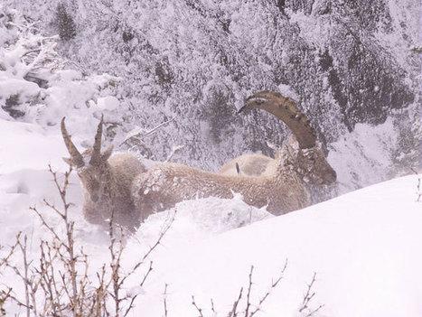 Parc national des Ecrins | La faune en hiver : survivre ! | montagne | Scoop.it