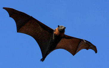 Awesome X-Ray Videos Reveal How Bats Take Off And Fly | This Gives Me Hope | Scoop.it