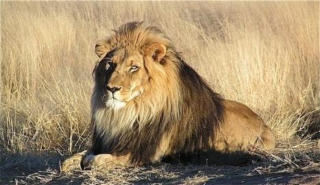 La caza furtiva de leones podría dispararse para traficar con sus huesos | Agua | Scoop.it
