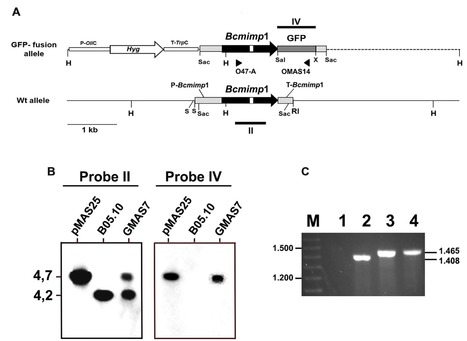 Frontiers in Microbiology (2016): Bcmimp1, a Botrytis cinerea Gene Transiently Expressed in planta, Encodes a Mitochondrial Protein | WU_Phyto-Publications | Scoop.it