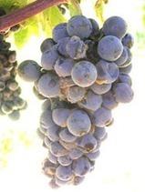 Vendanges françaises : avec 43,2 millions hl, un bilan 2013 pourri gris | le Vin : de la stratégie à la communication | Scoop.it