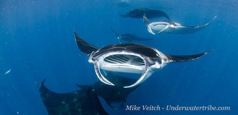 Bien photographier les raies Manta  Underwater Photo Guide - DIVE.in | Rays' world - Le monde des raies | Scoop.it
