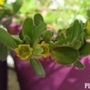 Γλιστρίδα: Ένα θεραπευτικό φυτό άνω των 2.000 ετών   ΥΠΕΡΤΡΟΦΕΣ & ΒΟΤΑΝΑ   Scoop.it