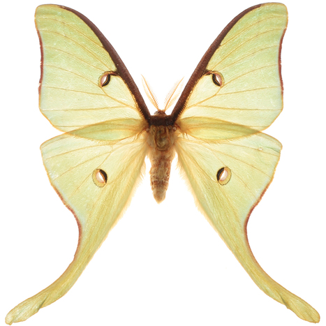 Lunar moths shed light on how to fool sonar from bats | Amazing Science | Scoop.it