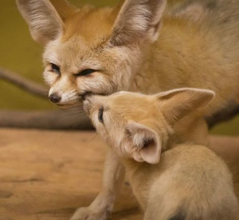 7 fun facts about the fennec fox | animals and prosocial capacities | Scoop.it