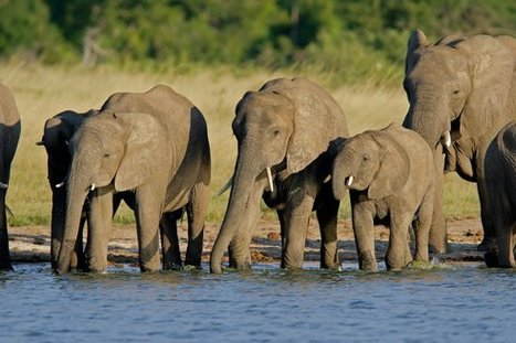 Poachers kill 300 #elephants (and other animals) with cyanide in 'worst massacre in southern #Africa for 25 years' | toxic compounds | Scoop.it