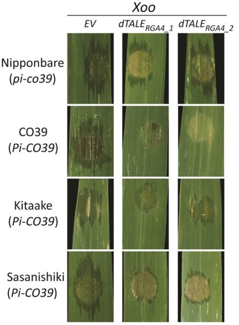 Plant J.: Ectopic activation of the rice NLR heteropair RGA4/RGA5 confers resistance to bacterial blight and bacterial leaf streak diseases (2016) | Effectors and Plant Immunity | Scoop.it