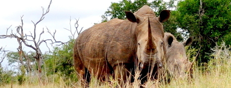 Once Upon a Time There Were Wild Animals in Africa | What's Happening to Africa's Rhino? | Scoop.it
