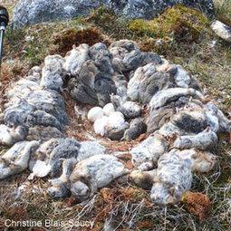 L'abondance de lemmings durant l'été 2013 expliquerait bien l'invasion de harfangs de cet hiver au Canada | Ornithomedia.com | Arctique et Antarctique | Scoop.it