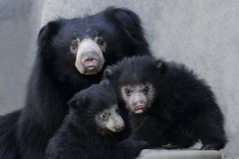 In Pictures: Meet Brookfield Zoo's Sloth Bear Cubs   Celeb news and sexy photos   Scoop.it