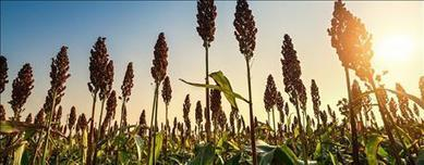 Sorghum Checkoff announces $500,000 investment | CALS in the News | Scoop.it