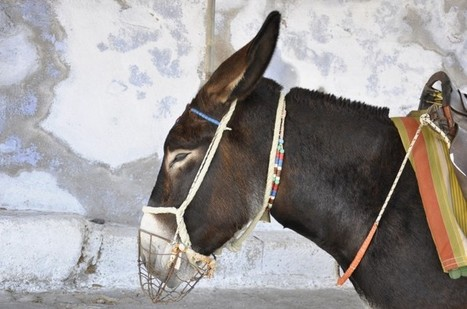 What Riding A Donkey in Santorini Can Teach You About Life | travelling 2 Greece | Scoop.it