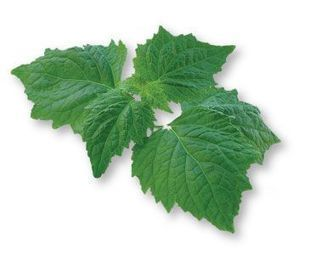 Patchouli Oil Wholesale Supplier and Manufacturer in India | Essential Oils | Scoop.it