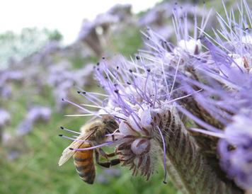 Pestizide schädigen Bienen und Hummeln - science.ORF.at   Bienen   Scoop.it