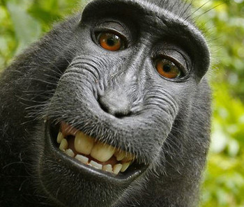 Monkey steals camera, takes self portraits that would make some humans jealous | animals and prosocial capacities | Scoop.it