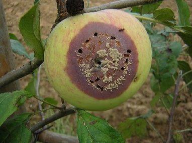 La monilia y los daños en frutales de hueso | Agroterra Blog | Agroindustria Sostenible | Scoop.it