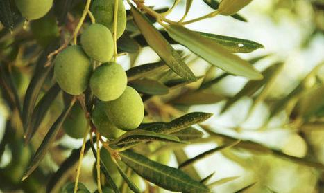 La bellissima storia dell'Ascolana Tenera il frutto più versatile delle Marche | Le Marche un'altra Italia | Scoop.it
