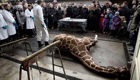 Ours qui tourne en rond, gorille qui mange son vomi... Il est temps de fermer les zoos - le Plus   Animals in captivity - Zoo, circus, marine park, etc..   Scoop.it