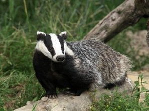 Government slammed for another year of badger cull failure | wildlife | Scoop.it