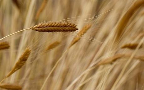 Il farro monococco previene la celiachia! | Alimentazione Naturale, EcoRicette Veg e Vegan | Scoop.it