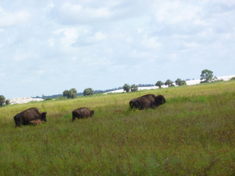 Bison At Home on the Range in Southwest Florida | Paleo Rescue | Scoop.it