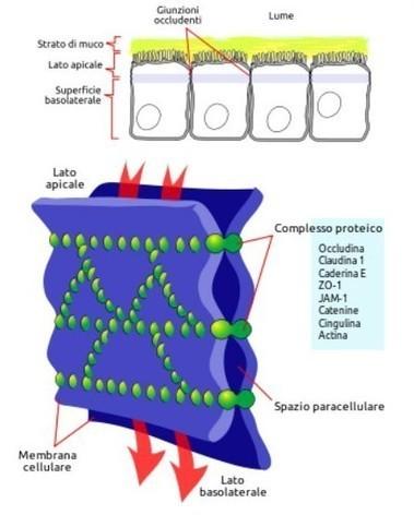 Sindrome della permeabilità intestinale, celiachia, sensibilità al glutine, spettro autistico, micotossine e tolleranza immunologica | Proconsum Rieti | Italica | Scoop.it